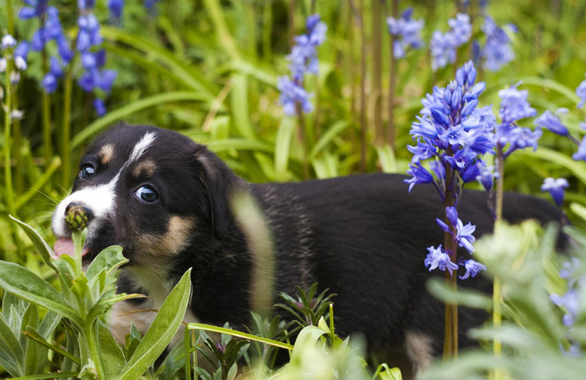 Poisonous Plants and Flowers Your Dog Should Avoid